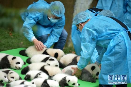 萌翻!23只新生大熊猫宝宝集体亮相