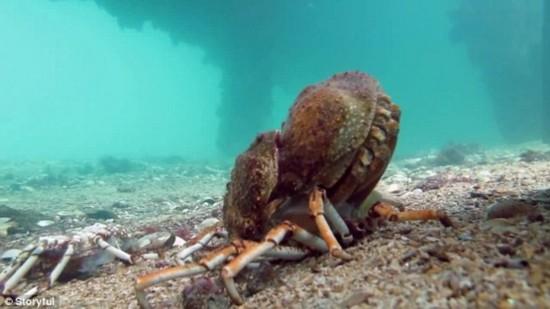 实拍澳海底黄貂鱼吞食蜕壳蜘蛛蟹瞬间