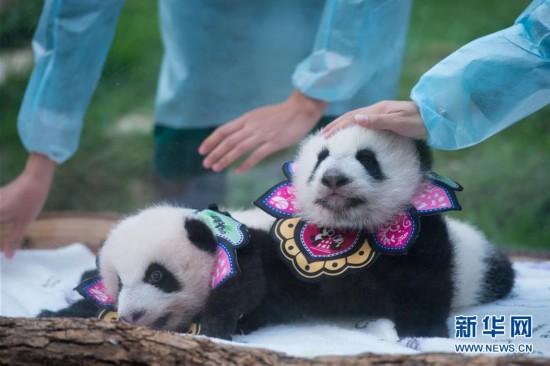 """澳门大熊猫双胞胎""""健健""""""""康康""""过""""百天"""""""