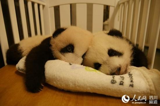 """澳门出生的大熊猫宝宝""""健健""""、""""康康""""满100天,齐为国庆添色彩。(图片由成都大熊猫繁育研究基地提供)"""