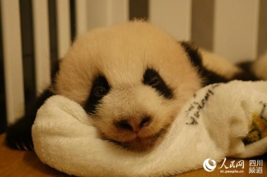 """澳门出生的大熊猫""""康康""""。(图片由成都大熊猫繁育研究基地提供)"""