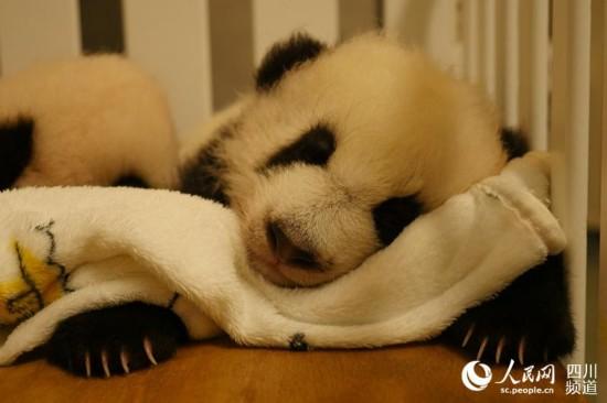 """澳门出生的大熊猫""""健健""""。(图片由成都大熊猫繁育研究基地提供)"""