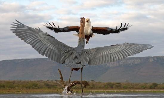摄影师南非拍摄鱼鹰大战巨鹭