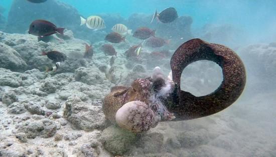 美国贪食鳗鱼吞罢章鱼不足转攻潜水者