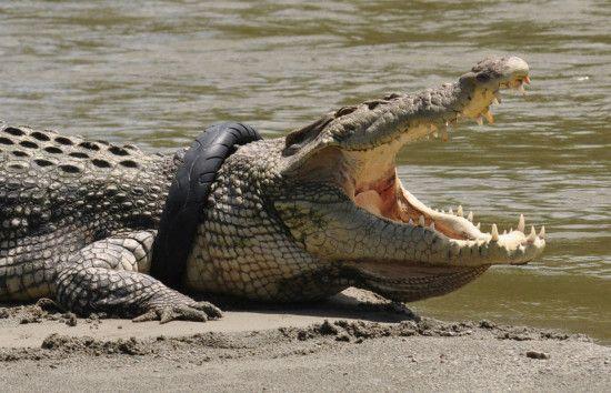 谁来救我?鳄鱼被轮胎套住围观群众不敢伸援手