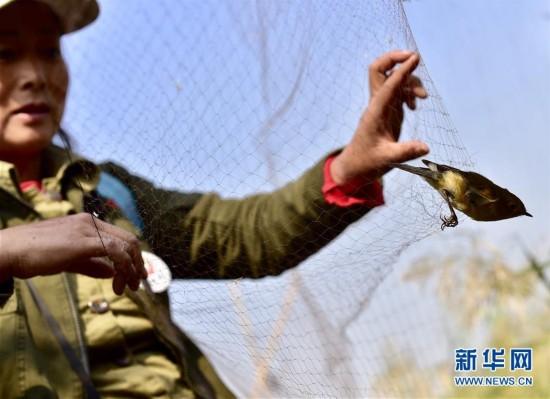 天津:候鸟受困捕鸟网 志愿者展开拆除行动