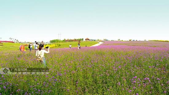 壁纸 草原 成片种植 风景 植物 种植基地 桌面 550_309
