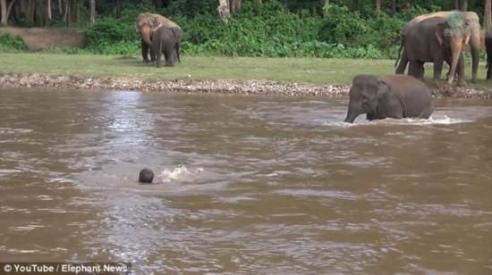 超有爱!小象听到呼救声后渡河救人感动数十万网友(组图)