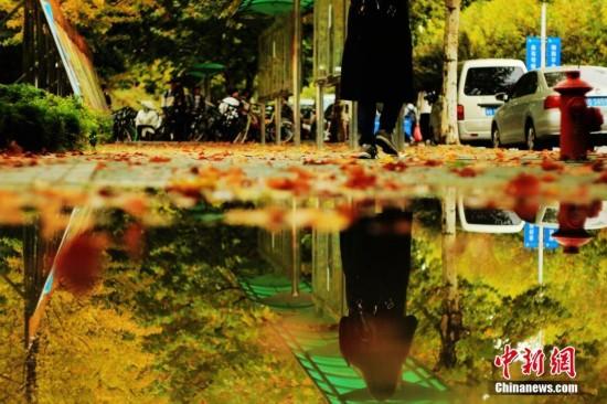 青岛森林式高校秋雨过后尽披黄金甲