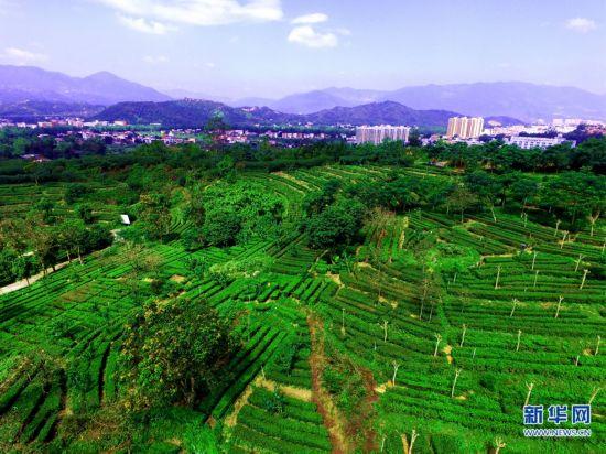 【航拍】福建安溪铁观音秋茶采摘忙 受台风影响产量锐减