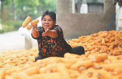 镇江丹徒玉米相继进入成熟期 村民忙收获
