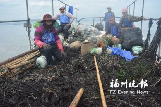 50亩头水紫菜遭恶意破坏 福清养殖户损失超百万