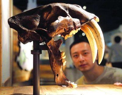 市民正在参观剑齿虎头骨模型。青年报记者 吴恺 摄
