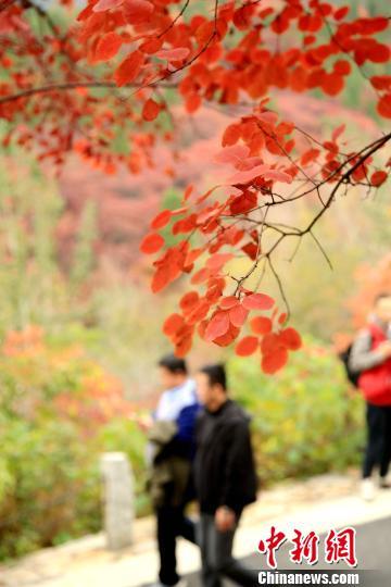 """济南红叶谷层林尽染显""""枫情""""万种品秋赏红正当时(图)"""