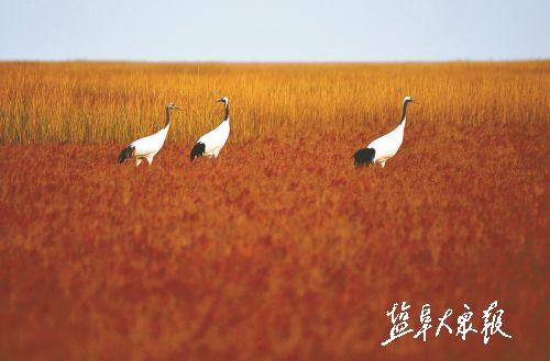 7只丹顶鹤被发现现身盐城湿地 飞来越冬