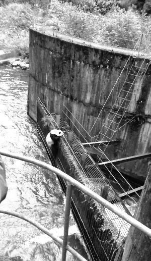 水里有个露馅汤圆?原来是野生大熊猫误入水电站
