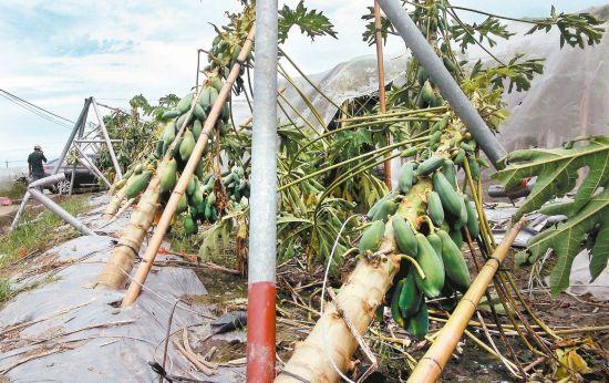 云林县温网室受台风影响损害严重,因为缺工缺料影响,仍有多数迄今仍未修复