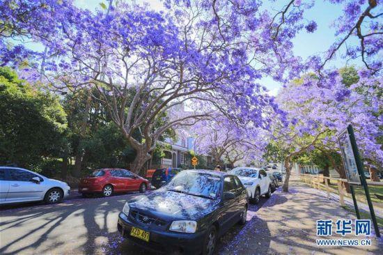 悉尼蓝花楹盛开季