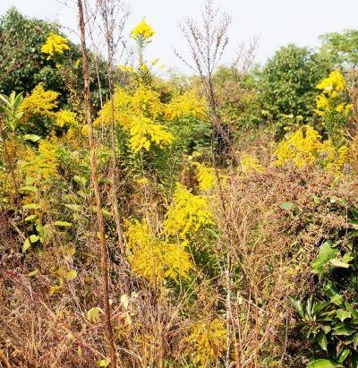 成片疫情扑灭 扬州基本清除加拿大一枝黄花