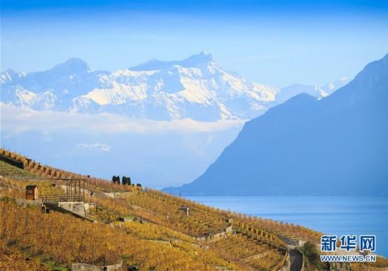 瑞士:深秋的拉沃葡萄园