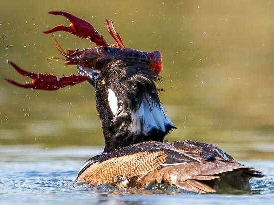弱肉强食!野鸭霸气捕食小龙虾画面(组图)