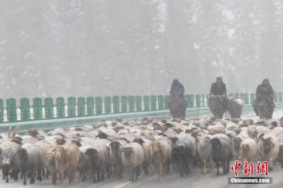 新疆伊犁暴雪持续 牧民冒雪转场(图)