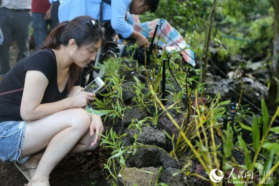 海南首个互联网农业小镇石山镇种植的石斛