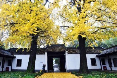 扬州史公祠银杏披上黄金甲 吸引市民驻足拍照