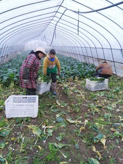 雪后见涨 扬州青菜韭菜两天贵一成
