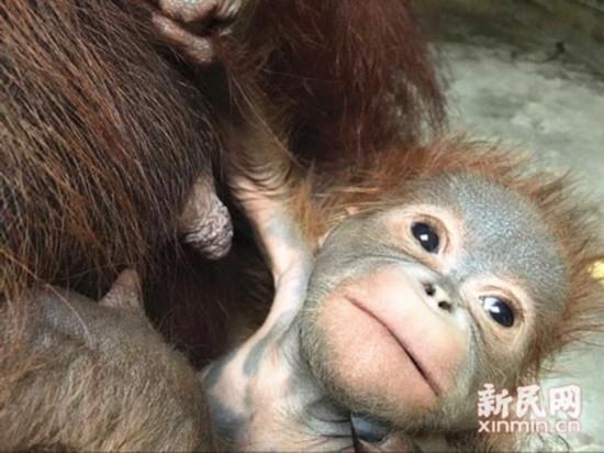 萝繁殖_上海动物园首次繁殖猩猩成功 野外不足7万只