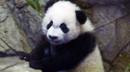 旅美大熊猫肠道淤塞进手术室术后恢复良好