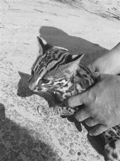 海南昌江惊现罕见野生动物豹猫 却因病重死亡