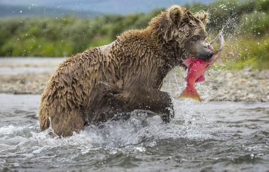母熊捕鱼喂食幼崽展现浓浓骨肉亲情