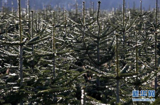 英国的圣诞树林场