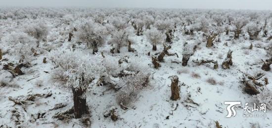 雪后的新疆伊吾县胡杨林如一幅壮丽的泼墨画卷(组图)