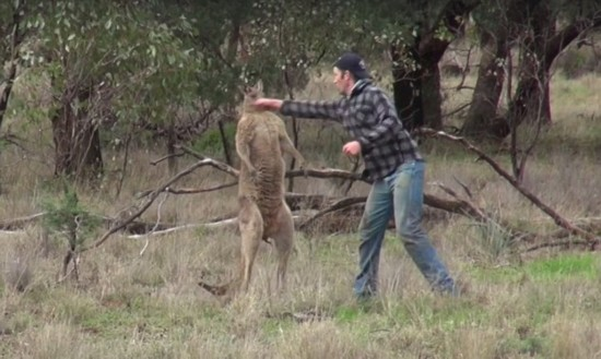 澳男子为救爱犬与袋鼠搏斗 以右勾拳取胜(图)