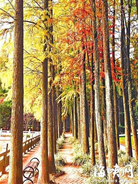 福州红叶季下周来临 森林公园等多个公园可观赏