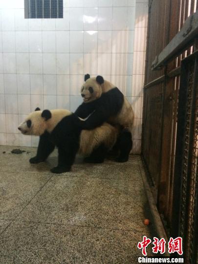 大熊猫岁末配种创造大熊猫繁育史上3个首例