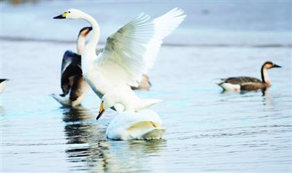 今年留在浑河过冬的天鹅鸿雁又多了