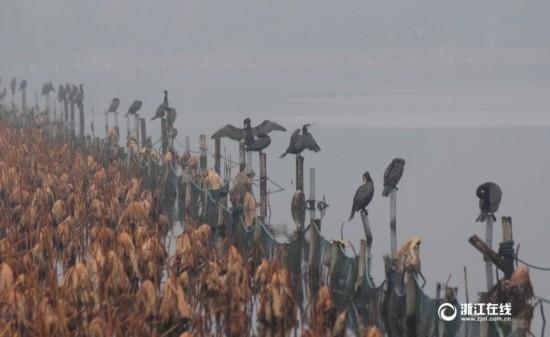 西湖鸬鹚雨中立