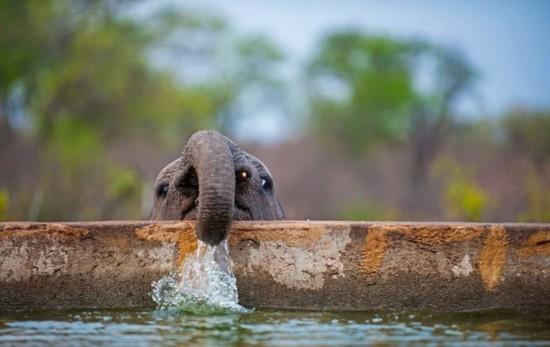 南非小象趴水池边喝水照片神似涂鸦人物基莱(