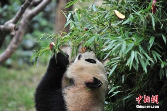 竹子和苹果搭成圣诞树,为动物园里两只贪吃的大熊猫毛竹和珍多送上