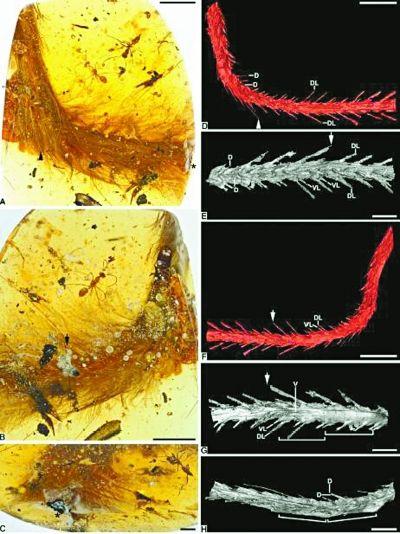 我国科学家揭秘隐藏在琥珀里的恐龙尾巴