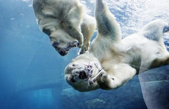 """丹麦动物园两北极熊""""离婚""""后""""无奈分居""""--陕西频道"""
