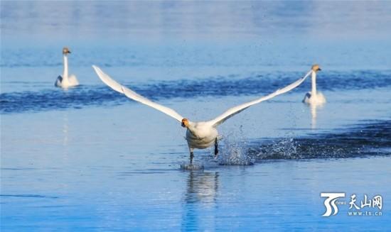 新疆赛里木湖迎来大批野生迁徙白天鹅(组图)