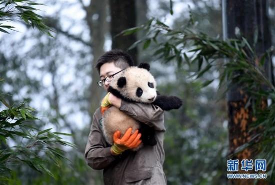 8只大熊猫宝宝集体亮相迎新年