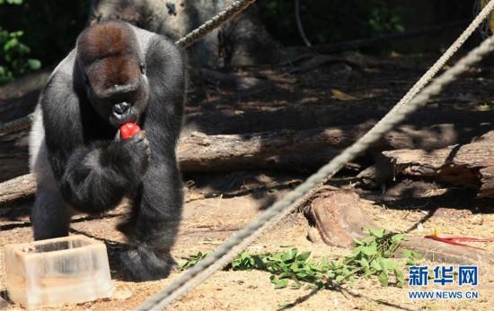 澳洲高温 大猩猩享用冰块