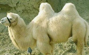 《鬼吹灯之精绝古城》白骆驼是什么?白骆驼救