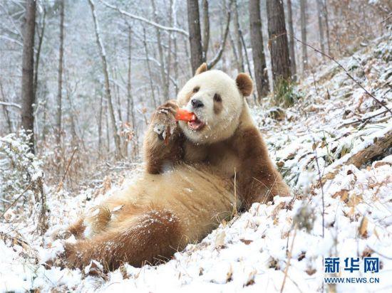 它是目前世界唯一能看到的棕色大熊猫活体