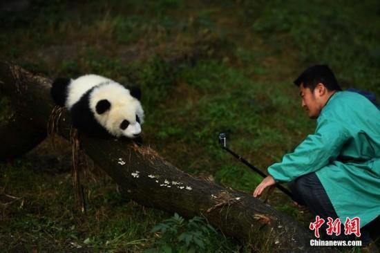 1月22日,重庆杨家坪动物园内的双胞胎大熊猫宝宝正式与游客见面.